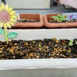 ひまわりを種から植えて観察してみよう!のコーナー*その1